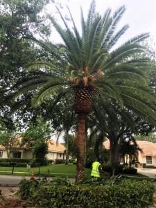 date palm (2)