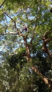 Royal Poinciana Pruning in Loxahatchee, FL 33470