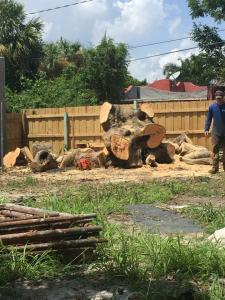 Mango tree removal
