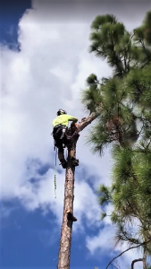 Pine tree removal in Loxahatchee, FL 33470