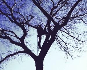 Maple Tree Pruning in Loxahatchee