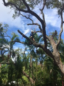 oak removal in north palm beach